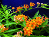 Butterfly Weed, 0.25 g