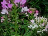 Cleome (Spider Flower), Queen Mix, bulk size: 7 g