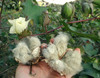 Erlene's Green Cotton, 16-20 seeds