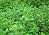 Thyme, Creeping, 0.2 g