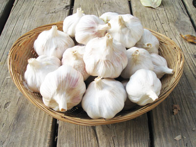 Blossom Turban Garlic