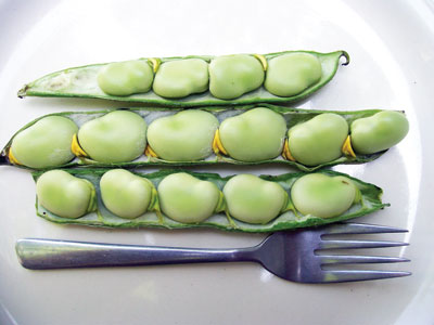 Broad Windsor Long Pod Fava Bean