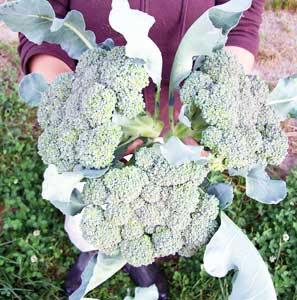 Nutri-Bud Broccoli