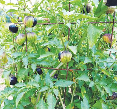 Husk Tomato Ground Cherry Tomatillo Growing Guide