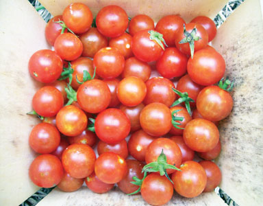 Sugar Cherry Currant Tomato