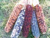 Kentucky Rainbow (Daymon Morgan's Knt. Butcher) Dent Corn, bulk size: 4 lbs
