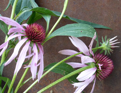 Echinacea Angustifolia (Narrow-Leaved Coneflower) 0.2 g