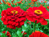 Zinnia, Red Beauty, 1 g