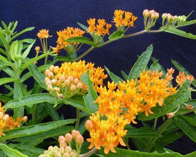 Butterfly Weed 0.25 g