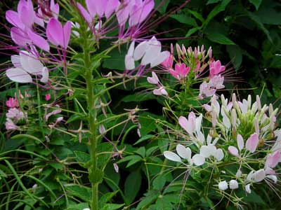 Cleome (Spider Flower), Queen Mix 7 g