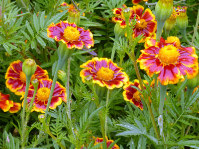 French Marigold, Frances's Choice 0.5 g