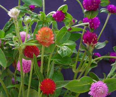 Globe Amaranth, Mixed Color (Gomphrena) 0.15 g