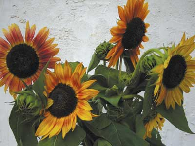 Inca Jewels Sunflower