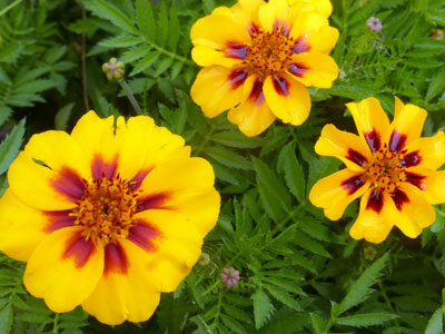 French Marigold, Naughty Marietta FLOWER 0.5 g