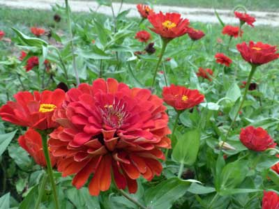 Zinnia, Red Beauty 1 g