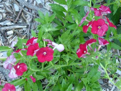 Phlox, Red Drummond 0.3 g