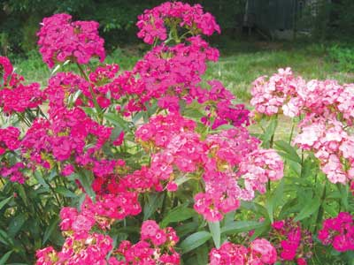 Flower Seed Catalogs on Sweet William Flower 0 07 G  01166     2 50   Southern Exposure Seed