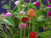 Globe Amaranth, Mixed Color (Gomphrena), 0.15 g