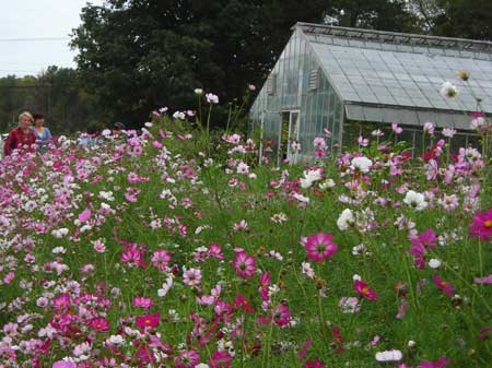 Picotee Cosmos for Seed