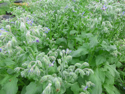 Beth Shelley's Borage