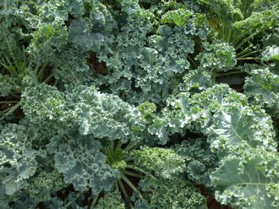 Beth Shelley's Vates Kale