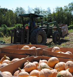Seminole Pumpkin Harvest