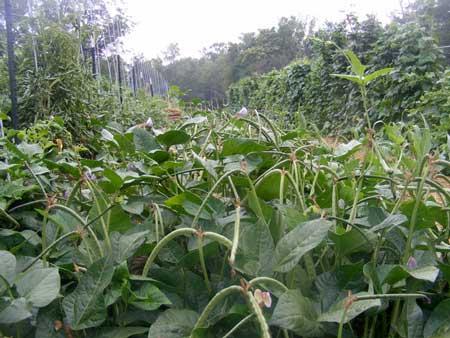 Beans on Rodger's Farm