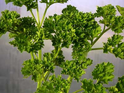 Forest Green Parsley 2 g