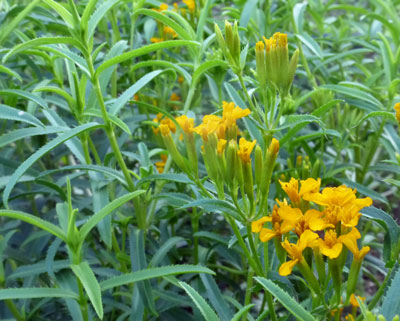 Mexican Mint Marigold (Sweet Mace, Mexican Tarragon)- Herb 0.1 g