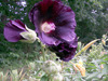 Hollyhock, Black, 0.25 g