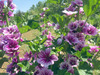 French Hollyhock, Zebrina, 0.5 g