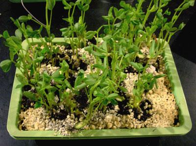 germination testing