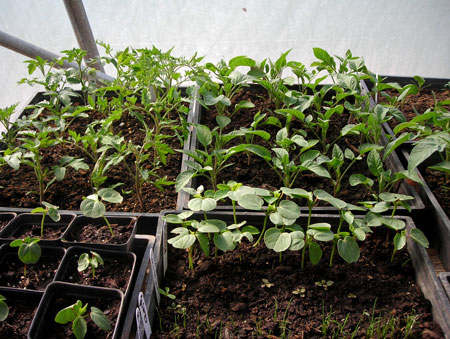 tomato, pepper and roselle seedlings