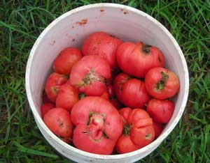 A bucket of RCML tomatoes for seed
