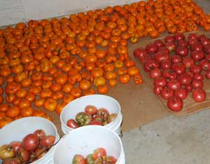 Tomatoes ripening post-harvest