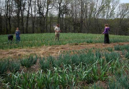 weeding garlic and onions