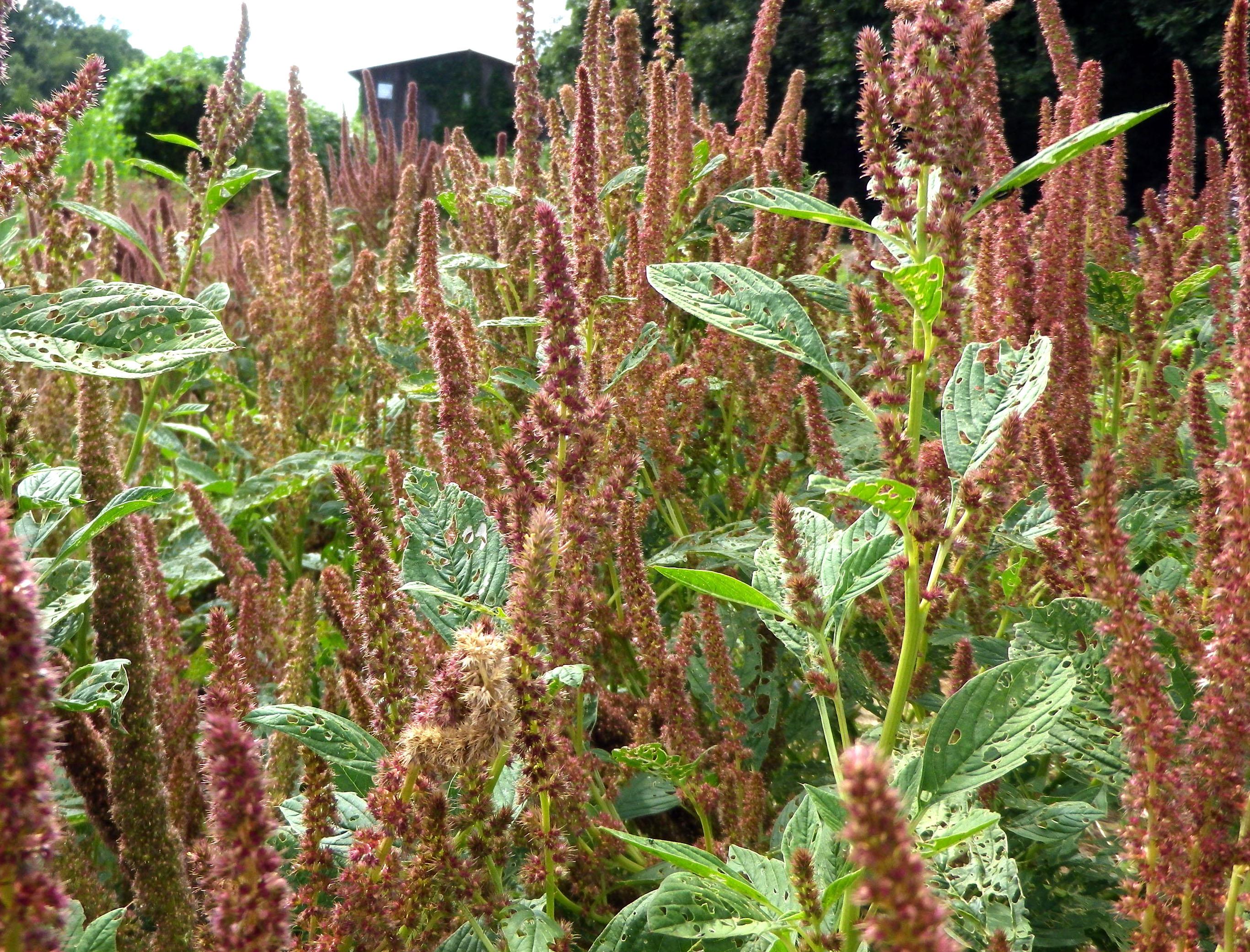 amaranth plainsman 2 g southern exposure seed exchange saving