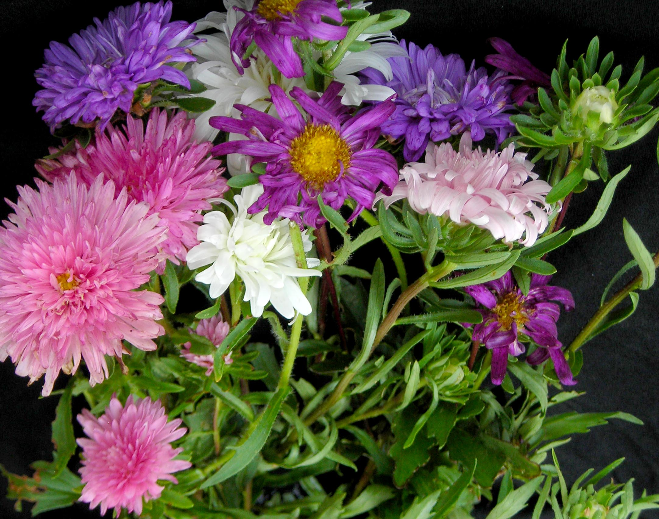 Aster Crego Giant Mixed Colors 01 G Southern Exposure Seed