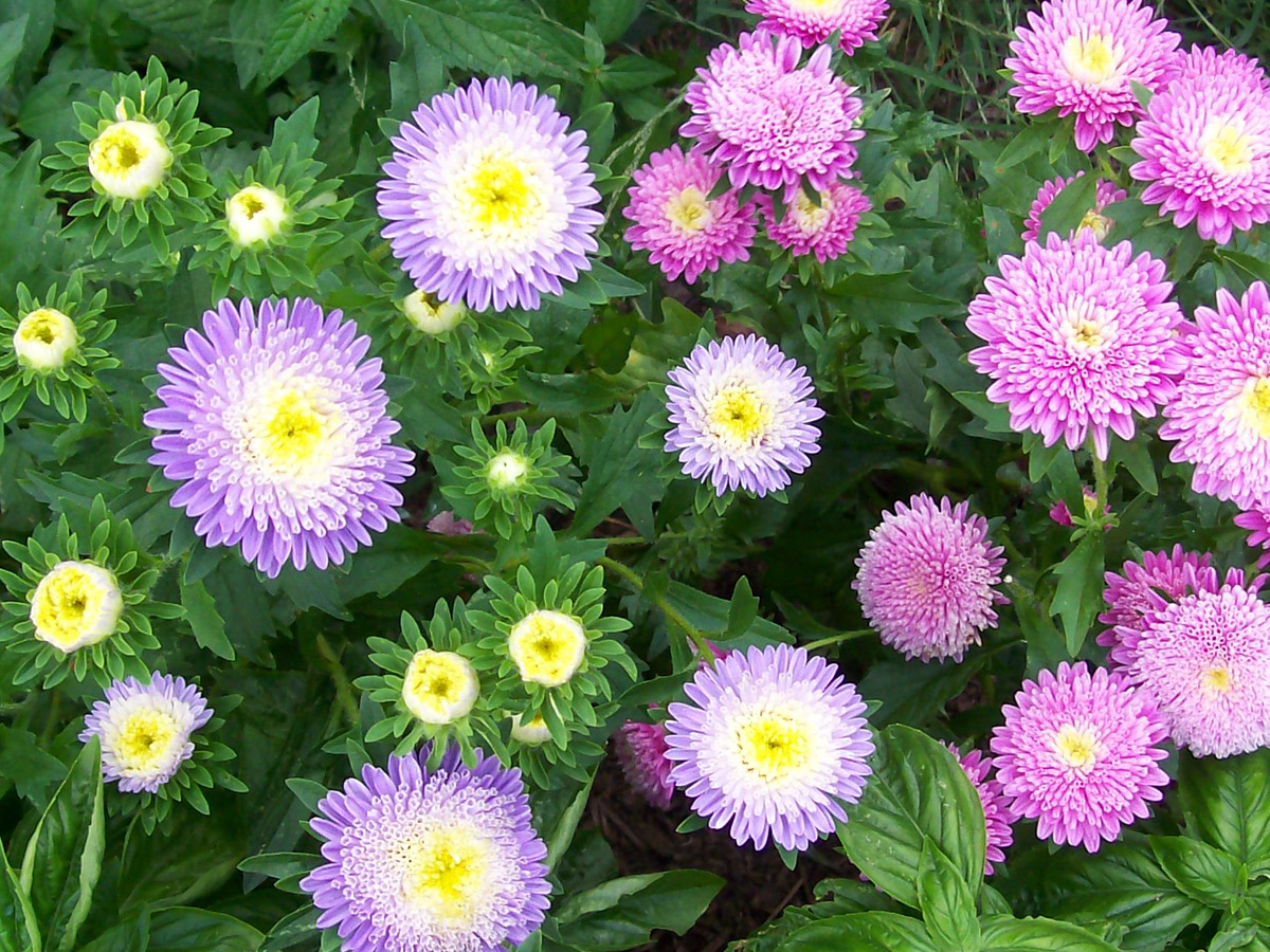 Aster Powder Puff Mixed Colors 01 G P 824 additionally 05653 PK P1 in addition 51032 Pk P1 further Grow Plants Babylon Light moreover Growing Okra. on growing tomatoes