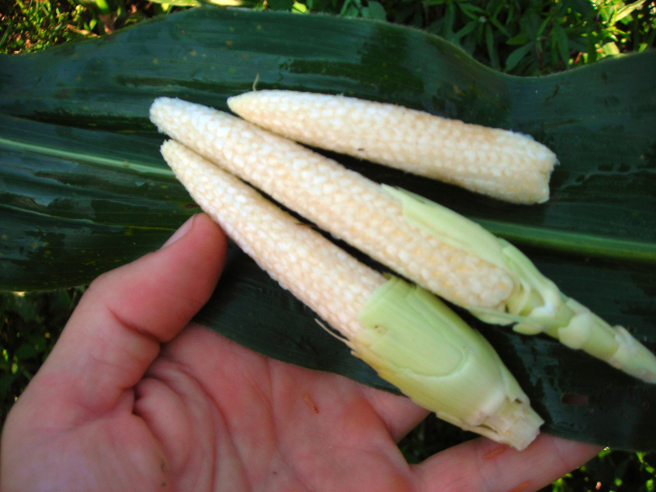 Chires Baby Sweet Corn, 4 g : Southern Exposure Seed ...