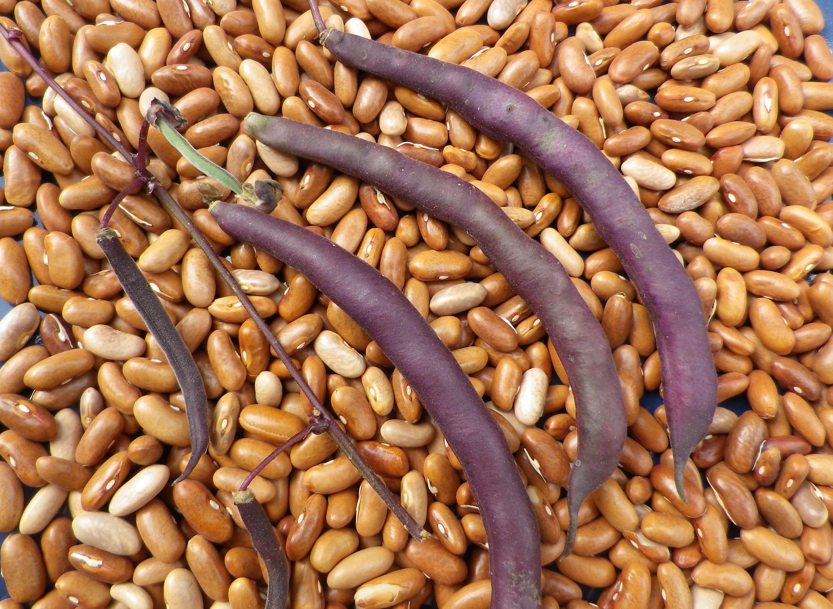 Purple snap beans