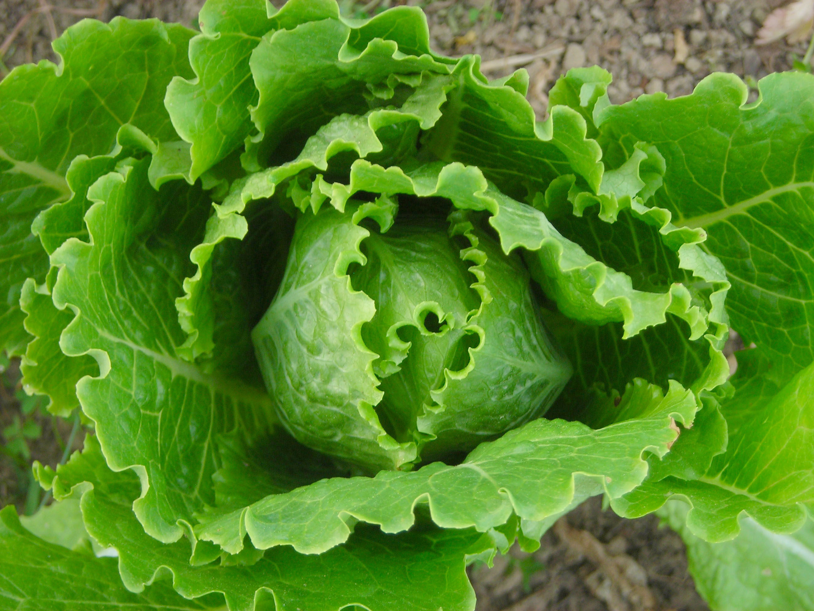Cosmo Romaine Lettuce 0 5 G Southern Exposure Seed