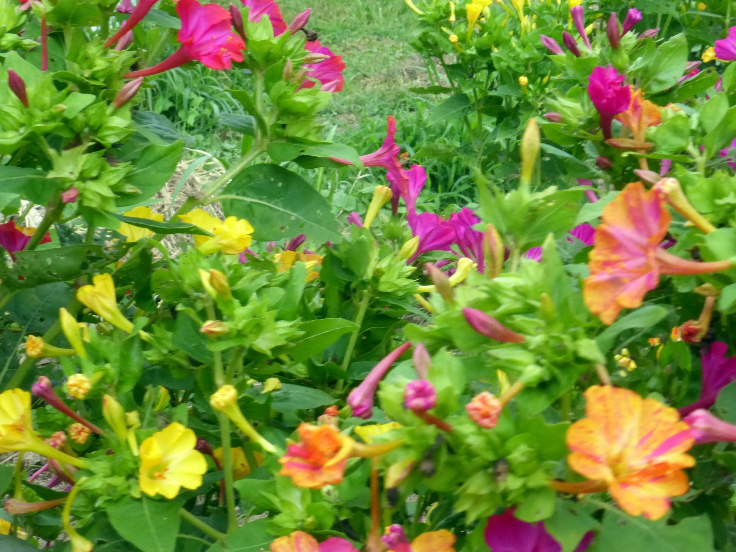 Four O Clock Flowers
