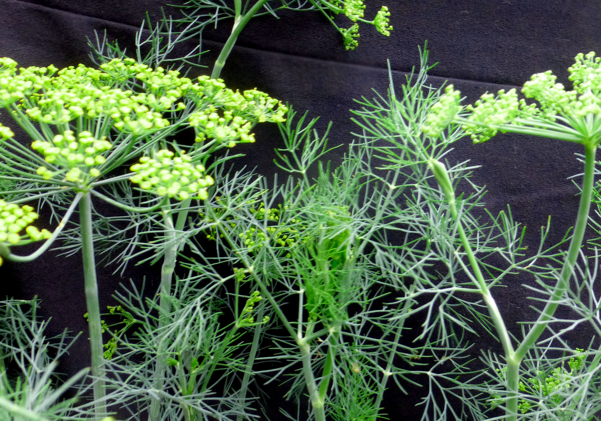 Dill Fernleaf 0 75 G Southern Exposure Seed Exchange