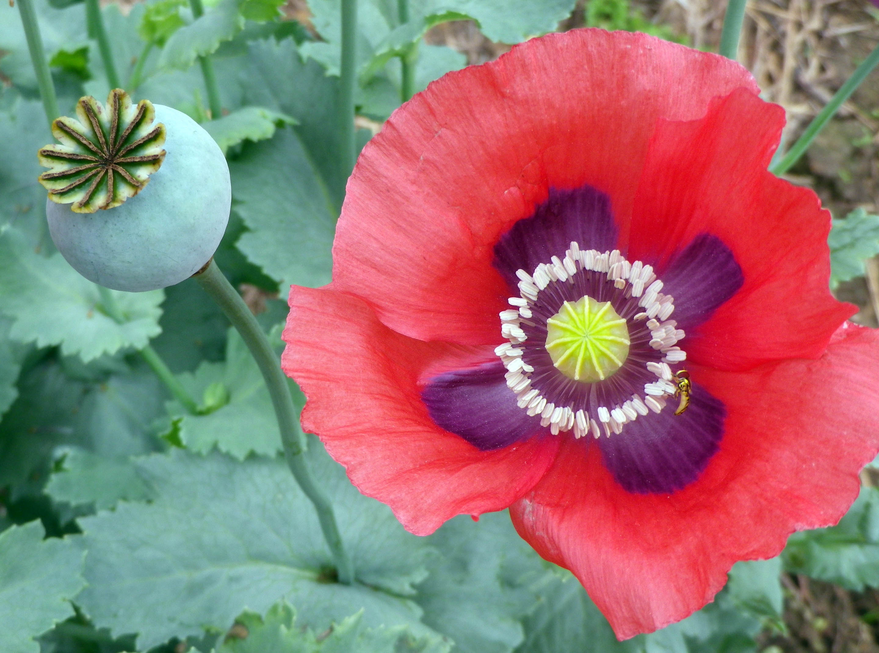 Breadseed Poppy Charlottesville Old Southern Exposure Seed