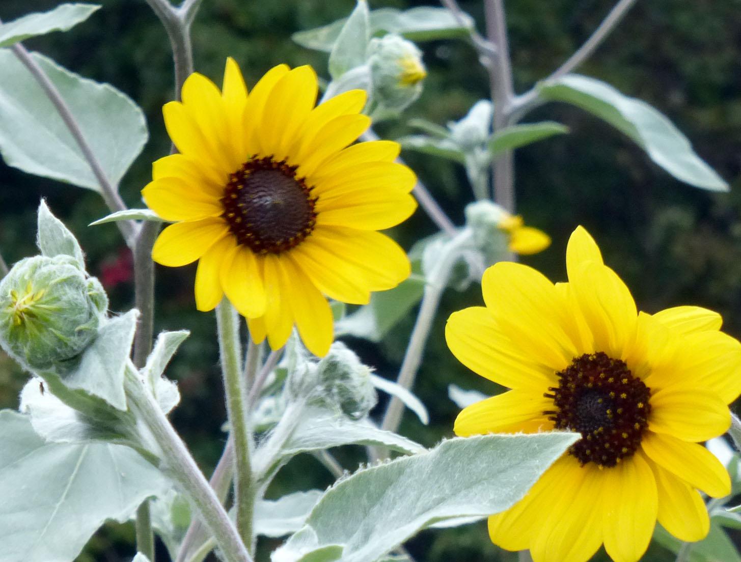 Silverleaf Sunflower 1 g Southern Exposure Seed Exchange