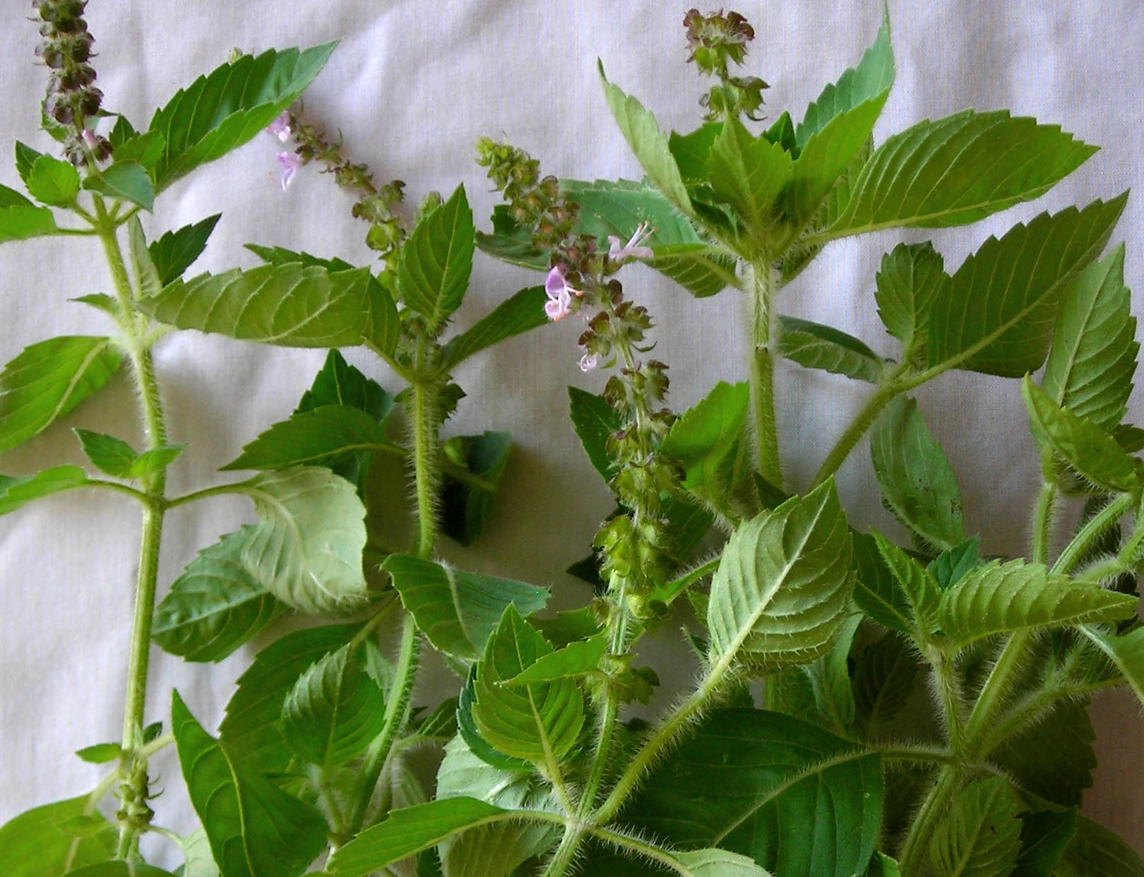 Are Basil Seeds a New Superfood  Care2 Healthy Living