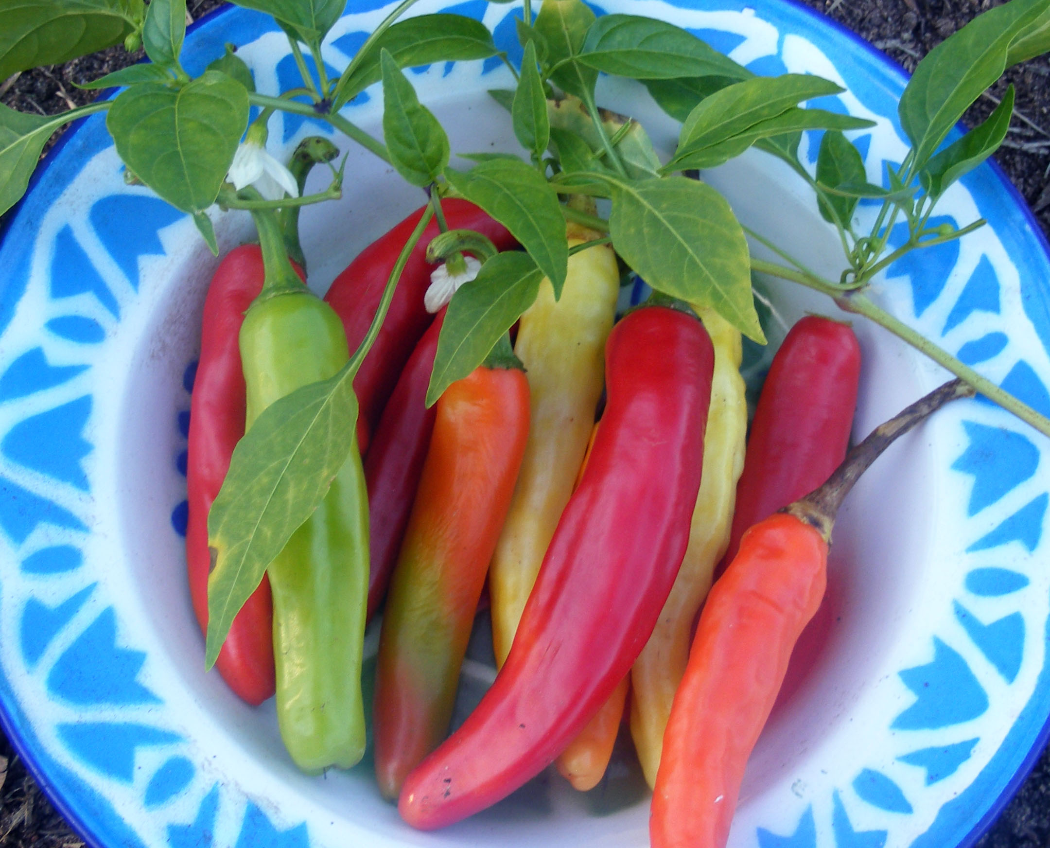 charleston hot pepper  0 3 g   southern exposure seed