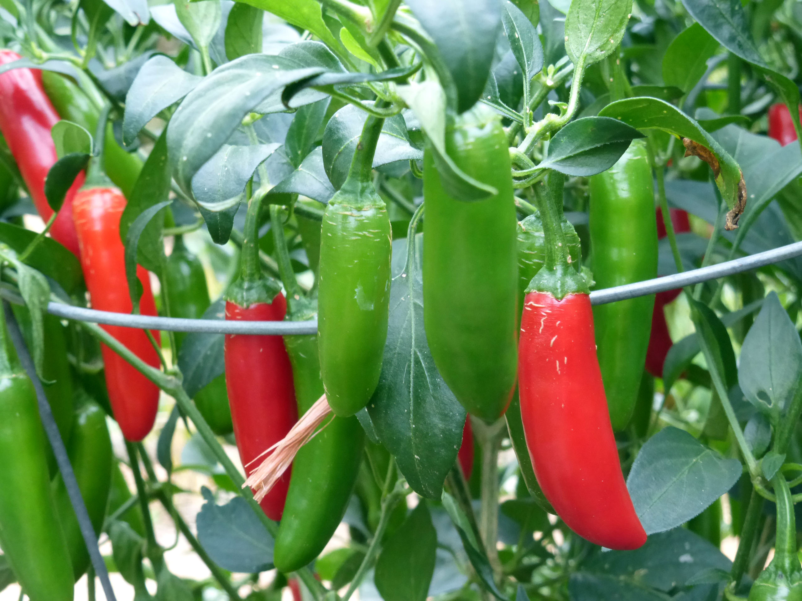 Image result for serrano pepper
