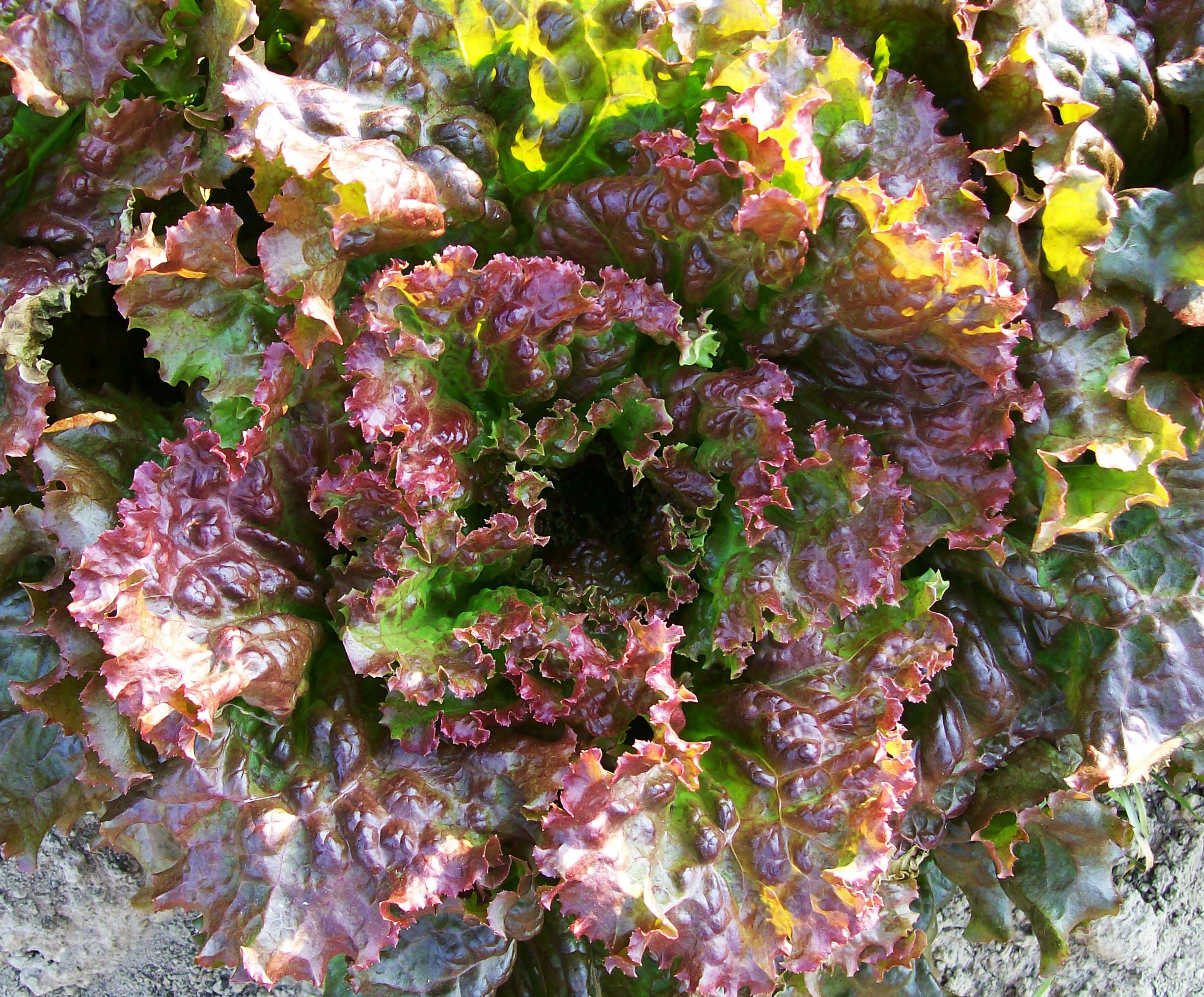 Red Sails Looseleaf Lettuce, 0.5 g : Southern Exposure Seed Exchange ...